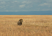 Male Lion (Panthera leo) in the open Serengeti plains just after a storm, 2011