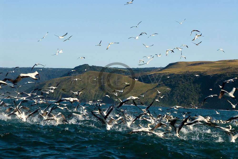 Gannets looking for sardines , South Africa, Wild Coast, Sardine Run, dolphins, Sharks, sardine, gannets