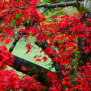Japanese Maple in garden in the Seattle Arboretum.