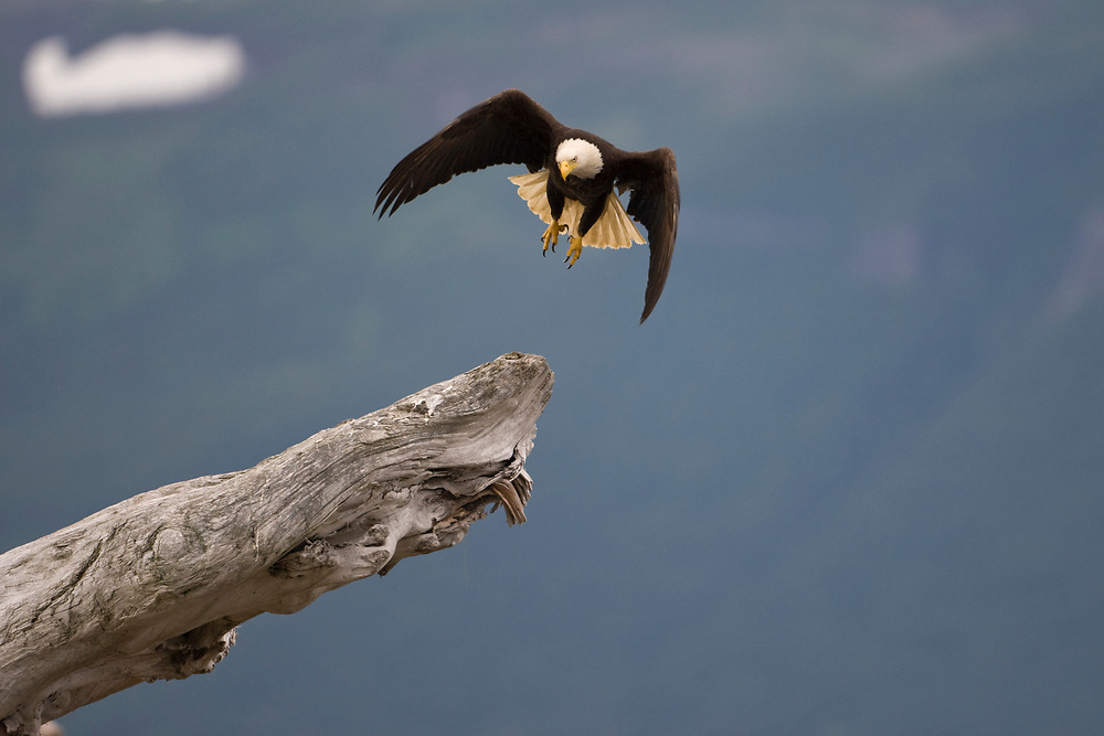 USA, Alaska, Katmai National Park, Bald Eagle (Haliaeetus leucocephalus) spreads wings while taking flight from log along Hallo Bay