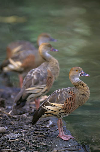 Plumed Whistling Duck (Dendrocygna eytoni) in Australia.