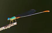 Orange-tailed marsh dart (Ceriagrion cerinorubellum) from Sabah, Borneo.