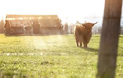 THEMENBILD - ein Schottisches Hochlandrind auf einer Weide vor einem Stall, aufgenommen am 22. April 2018, Kaprun, Österreich // Scottish Highland cattle on 2018/04/22, Ort, Austria. EXPA Pictures © 2018, PhotoCredit: EXPA/ Stefanie Oberhauser