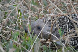 July 24, 2017 - Ankara, Turkey - A blue-eyed hedgehog appears at a wild field in the early hours of the morning in Ankara, Turkey on July 24, 2017. (Credit Image: © Altan Gocher/NurPhoto via ZUMA Press)