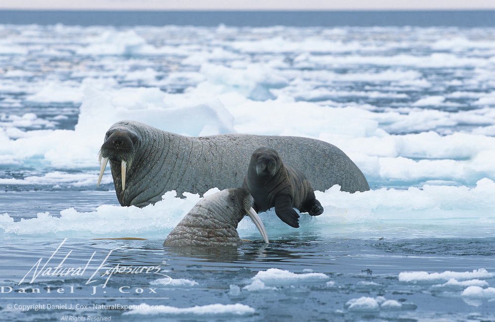 Walrus mother and baby in the waters off of Baffin Island. Canada.