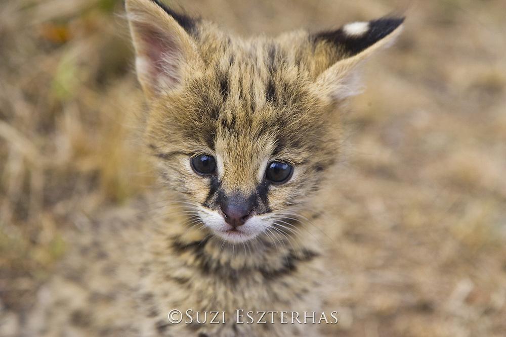 Serval<br /> Felis serval<br /> Five week old orphan kitten<br /> Tanzania