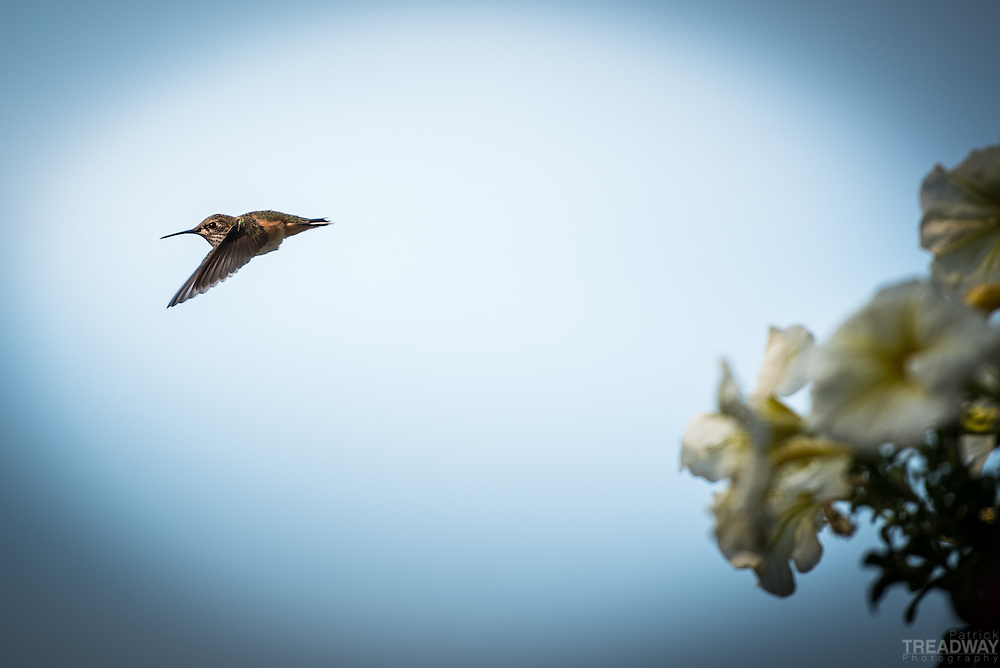 A hummingbird flying past flowers.