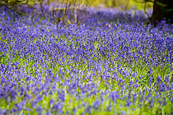 © Licensed to London News Pictures. 2/05/2016. Aberystwyth, Wales, UK.  After a wet and miserable morning, the weather in the west of the UK dramatically improved in the afternoon, with long periods of warm spring sunshine. In Penglais park woods on the outskirts of Aberystwyth, the bluebells are in full bloom . Photo credit: Keith Morris/LNP
