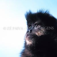 """Macaco-prego """"Cebus nigritus"""", Santa Catarina, Brasil. foto de Ze Paiva/Vista Imagens"""