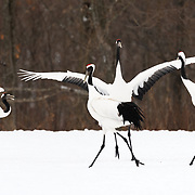 Pictured here are two pairs of Japanese cranes (Grus japonensis)  in Hokkaido, Japan crossing paths while engaged in pair-bonding. This species is found in Siberia, Northeast China, Mongolia, Korea and northern Japan. The population in northern Japan is mostly non-migratory, remaining resident on the island of Hokkaido throughout the year. This species is listed as Endangered on the IUCN Red List.