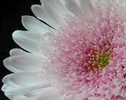 Macro image of a white chrysanthemum