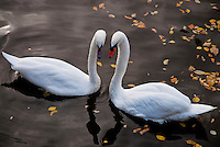 Amsterdam, Holland. Two swans courting in a canal. Close-up.