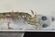 larva and tadpoles of a Fire Salamander (Salamandra salamandra) in a research lab