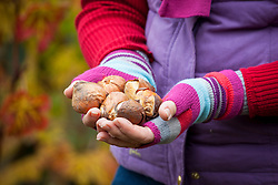 Hands holding tulip bulbs ready to plant in a border