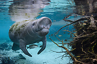 Florida manatee, Trichechus manatus latirostris, a subspecies of the West Indian manatee, endangered. Horizontal orientation. A manatee flexes his snout near submerged cypress tree roots providing a haven for a lone Mangrove snapper, Lutjanus griseus, and a few bream, Lepomis spp. The fish also share the warm blue freshwater of this part of Three Sisters Springs, Crystal River National Wildlife Refuge, Kings Bay, Crystal River, Citrus County, Florida USA.