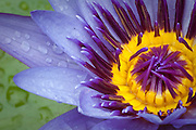 A purple and yellow water lily. Missoula Photographer