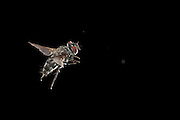 A flesh fly (sarcophagidae) photographed at night in Matobo National Park, Zimbabwe. © Michael Durham / www.DurmPhoto.com