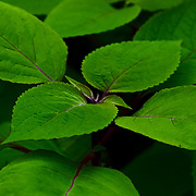 &quot;Green Sleeves&quot;<br /> <br /> If you love beautiful green plants, then this image is for you!! Lovely green leaves set at just the perfect angle!!<br /> <br /> Nature of this World by Rachel Cohen