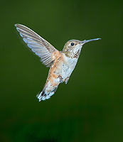 Rufous Hummingbird (Selasphorus rufus) in flight