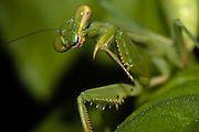 Praying Mantis.  The Phylum Arthropoda is the largest group of organisms on Earth.  They tend to have a segmented body and jointed legs.  This body plan of repeating parts and appendages means that parts can be modified in different species to perform different functions. For example, a praying mantis has raptorial forelimbs it uses to catch and hold prey, while the hind legs are used for standing and walking.  Arthropods are the Swiss Army knives of the animal kingdom.