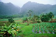 Taro field, Wailua, Hana Coast, Maui, Hawaii