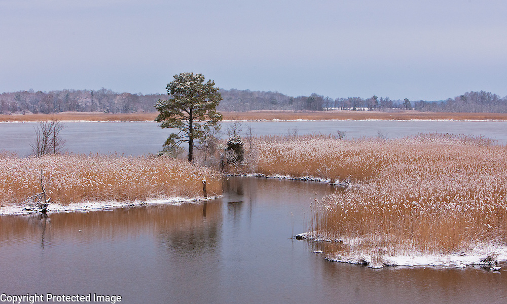 A lone pine on the Nanticoke River, Vienna, Maryland