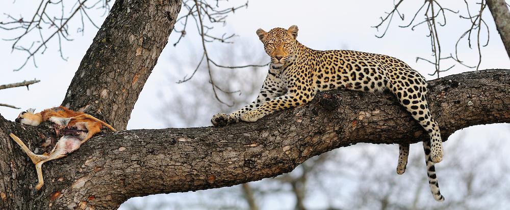 Panorama, Leopard (Panthera pardus), Ulusaba Sir Richard Branson's Private Game Reserve, Sabi Sands Game Reserve, Mpumalanga, South Africa.