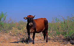 Cattle Ranch Agriculture