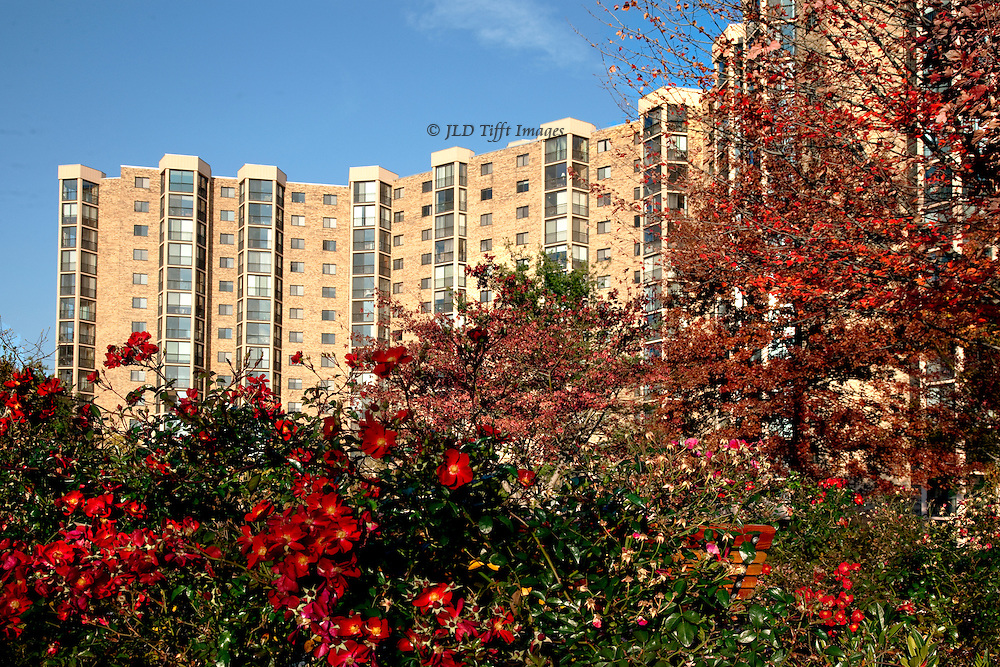 High rise apartment condominium in Northern Virginia.  Autum, with late red roses blooming lavishly in the foreground.