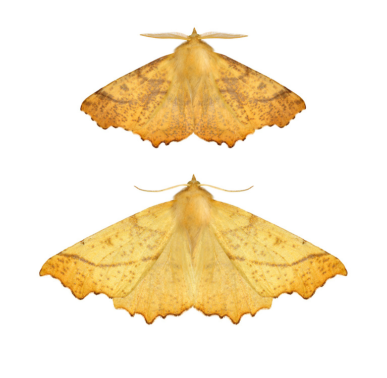 70.232 (1911)<br /> Large Thorn - Ennomos autumnaria
