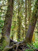 Trees and moss, Ho Rainforest, Olympic National Park, Washington, USA.