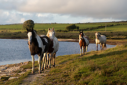 © Licensed to London News Pictures. 31/07/2020. Launceston, UK. Wild horses walk around Colliford Lake, Cornwall at sunset. Photo credit : Tom Nicholson/LNP
