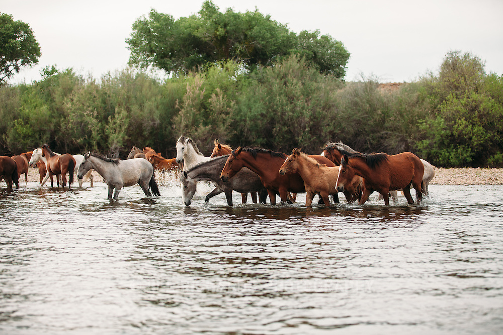 Wild horses photographed on the lower Salt River, below Saguaro Lake. Wild horses make their home along the lower Salt River and the abundant Arizona Upland Sonoran Desert vegetation.<br /> <br /> Photo by Jill Richards