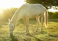 white horse in sunlight on the island of Vieques, Puerto Rico