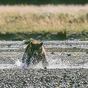 """There is a greater density of brown bears on Admiralty Island in Southeast Alaska than anywhere else in North America. Brown and grizzly bears are classified as the same species even though there are notable differences between them. 'Brown bears"""" typically live along the southern coast of Alaska where they have access to seasonally abundant spawning salmon. The coastal areas also provide a rich array of vegetation they can use as food as well as a milder climate. This allows them to grow larger and live in higher densities than their """"grizzly"""" cousins in the northern and interior parts of the state. Brown bears are also larger than black bears, have a more prominent shoulder hump, less prominent ears, and longer, straighter claws. Long claws are useful in digging for roots or excavating small mammals, but are not efficient for climbing trees.<br /> I used to visit this area frequently because there was a well-known man called Stan Price who lived in harmony with the bears in nearby Pack Creek for many years; I enjoyed listening to his bear stories. On this particular occasion I received a wake-up call not to approach the bears too closely. This bear was chasing salmon in the shallow streams and I wandered too close while my eyes were confined to the viewfinder of my camera. It suddenly turned its attention from catching salmon to me and started to walk towards me. When the walk became a canter I realized that I was in trouble so I stopped taking photos and lowered my camera. I froze to the spot and as the pace of the bear increased my first instinct was to point at and shout in a very loud, commanding voice """" Go back!"""" My voice echoed around the steep walls of the valley and fortunately for me the bear obeyed my order; it slammed on the brakes, snarled at me one last time and then ran away through the tall grass.<br /> Like many other animals, particularly immature males, bears will often make a bluff charge to protect their territory but I wasn't sure of that at t"""