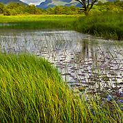 Tree and pond, Kilchurn, Lochawe