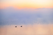 Grebes in morning fog on Sturgeon Lake<br />
