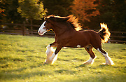 MO, St. Louis, Grant's Farm, Clydsdale stallion running in early morning.