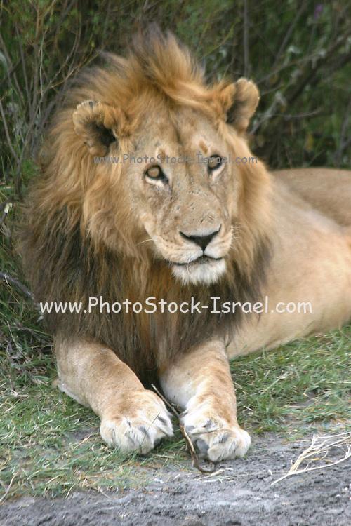 Africa, Tanzania, Serengeti National Park, Lion Panthera leo close up