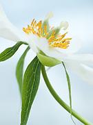 Paeonia emodi - Himalayan peony