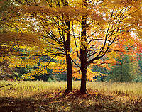 Twin maples in autumn.