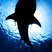 Whale shark silhouette off Mexico's Isla Mujeres.