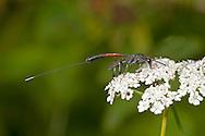 Gasteruption jaculator -  aspecies of parasitic wasp