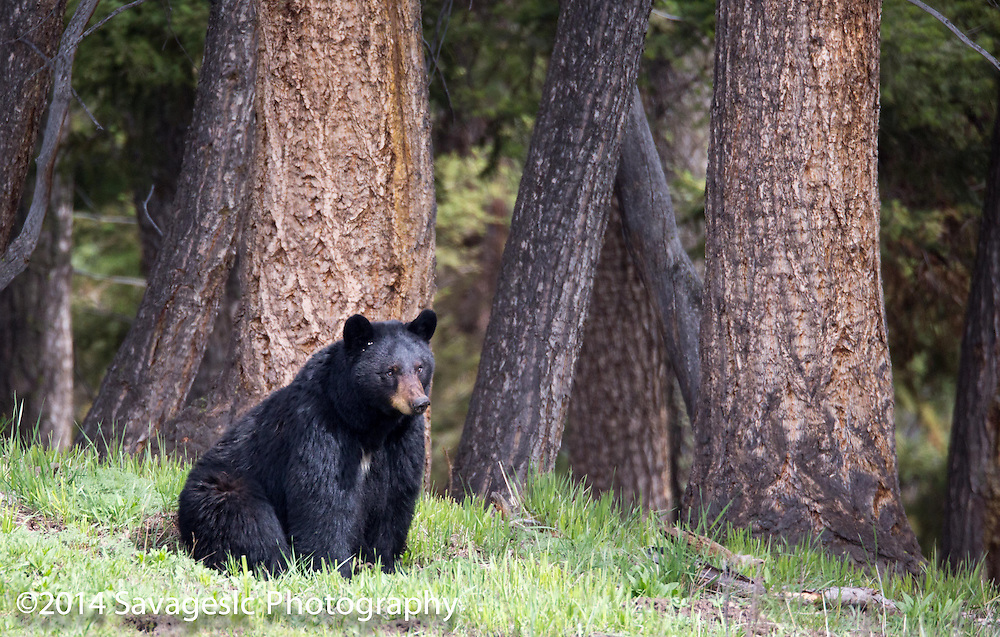 Black bear sits at the forests edge.