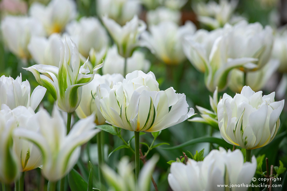 Tulipa 'Exotic Emperor' and 'Green Star'