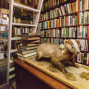 A badger perusing Russia & Africa, The Bookshop, Wigtown, Dumfries and Galloway, Scotland.