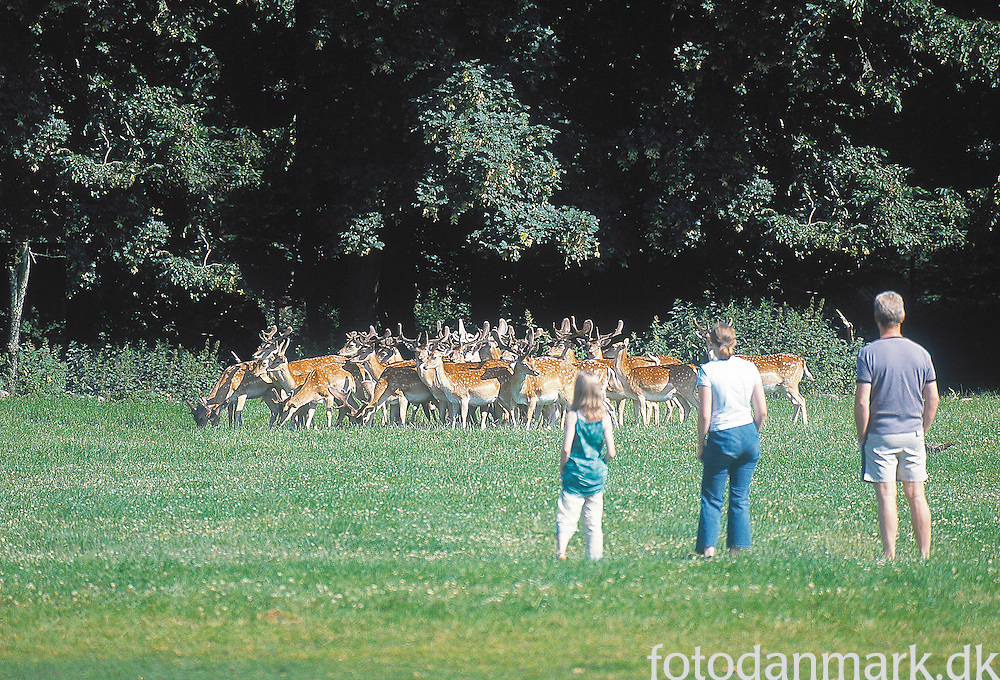 Deer outside the woods, with people watching