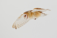 Barn owl in flight, hunting during the day in rare winter conditions when prey is inactive at night, active under snow during the day. © 2013 David A. Ponton