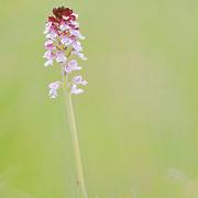 Burnt Orchid (Neotinea ustulata), Orchidoideae , Gorges du Tarn, Roc des Houstous, Lozère