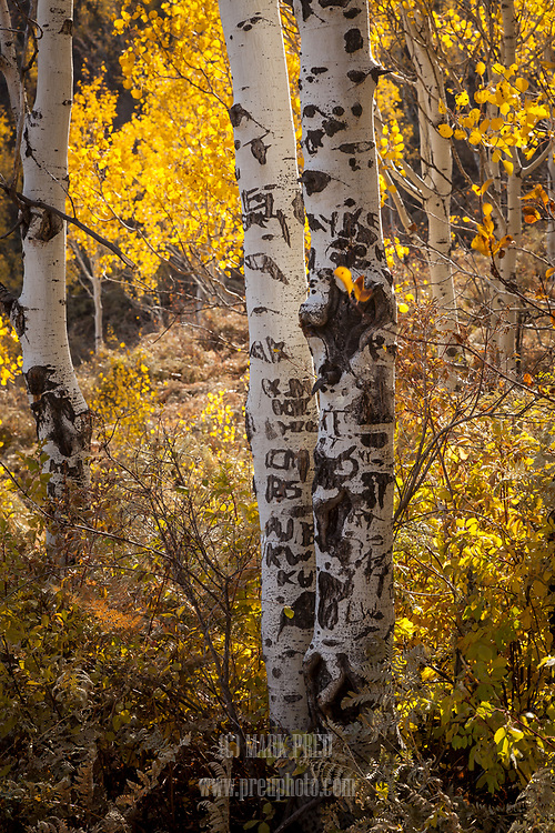 A trailside aspen in the Wasatch Mountains has been marred by graffiti.